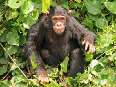Donate to  the Great Apes in Ngamba Island